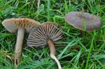 Nitrous Waxcap (Hygrocybe nitrata)